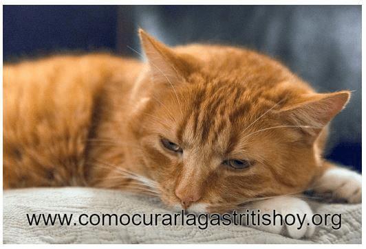 Como curar la Gastritis en Gatos